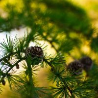 fir cone by toosas