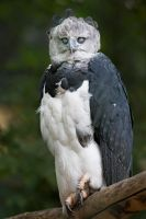 Harpy Eagle by darkSoul4Life