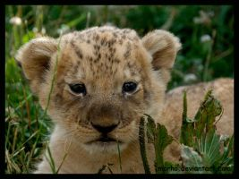baby lion by morho