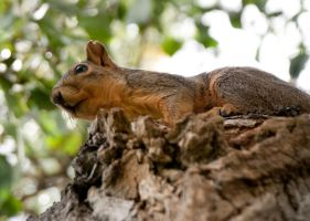 Squirrel In Tree by terryrunion