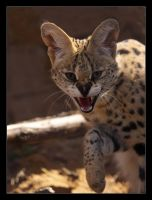 Serval III by Lilia73
