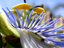Passiflora by Scalenbee