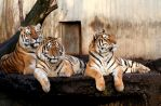 Three Tigers by Aakerman