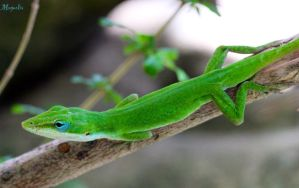 Green Anole by FallOut99