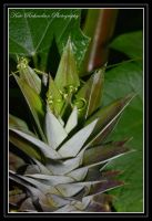 Pinapple 1 by DesignKReations