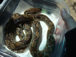 New Female Retic by LuckisGONE