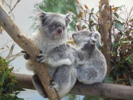 Koala and Baby by dtf-stock
