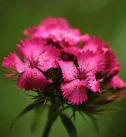 dianthus carthusianorum by marob0501