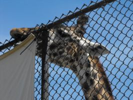 Giraffe at the zoo by Lady-Lilith0666