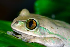 Big-eyed Tree Frog by DoctorPhrog