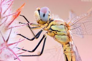 Dragonfly Profile II by erezmarom