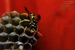 Wasp Macro by GarfieldP