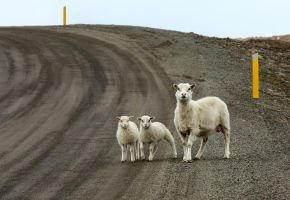 Sheep crossing the road 2 by ragnaice