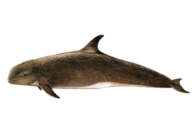 Grampus Griseus PNG by LG-Design