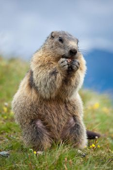 Marmot - 02 by AndreasResch