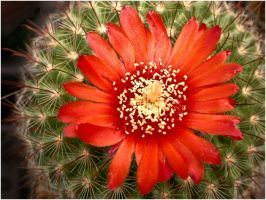RED CACTUS FLOWER by THOM-B-FOTO