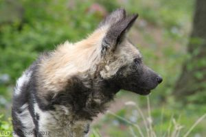Wild Dog Profile by ChaosToGlory