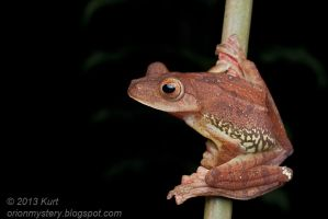 Harlequin Tree Frog (IMG 2678 copy) by orionmystery