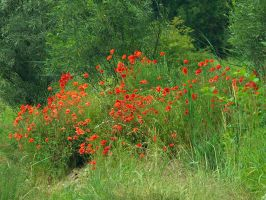 Poppies, poppies everywhere by starykocur