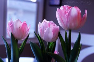 Tulips in the Window by ResurrectheSun