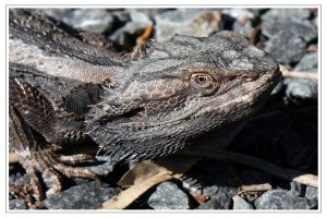 Bearded Dragon Spikey. by Firey-Sunset