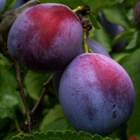 Italian Prune Plums by PamplemousseCeil