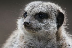 Scruffy Meerkat by MichaelJTopley