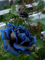 Black Rose with Blue Tips by ladymidnight21