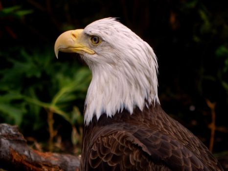 San Antonio Zoo-American Bald Eagle 02 by CoyoTea9