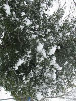 Winter - Snowy Holly by Adreos