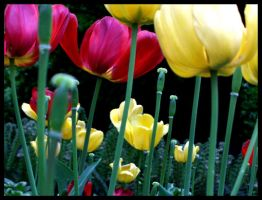 tulips by Elass