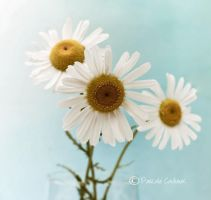 Marguerites by fruitpunch1