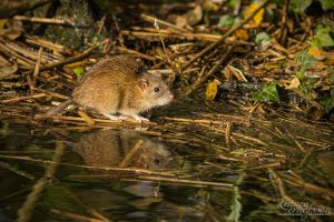 Brown Rat * by linneaphoto