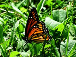 Viceroy in the Grass (2) by Michies-Photographyy