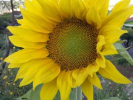 SUNFLOWER by robesauer