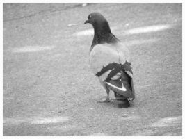 Pigeon by AllyCat1994