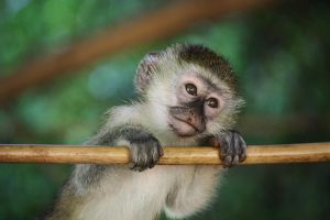 Vervet Monkey_Kampala by Sam-becomes-Sam123