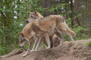 Graywolf 5 by Lakela
