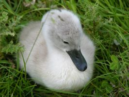 Baby Swan update by AnnieHyena