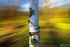 Portrait of a birch by WojciechDziadosz