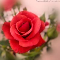 Red rose 2 by FrancescaDelfino