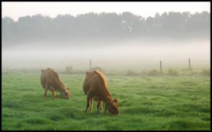 Two misty-morning cows by jchanders