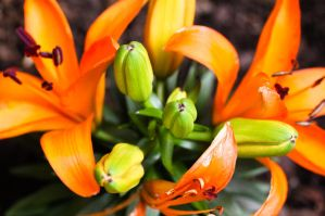 Asian Lily I by ParadoxJaneDesigns