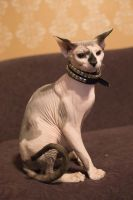 Sphynx Cat by VioletBreezeStock