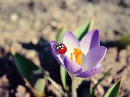 .:The Ladybug In The Crocus:. by bogdanici