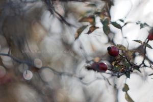 rose hip by stitches-itch