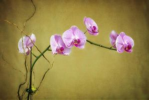 Orchid by fotocali