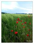 Coquelicot 1 by TheCorry