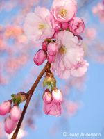 Cherry blossom 13 by jennyandersson
