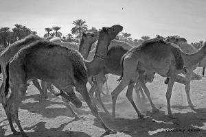 Camels run by Nile-Paparazzi
